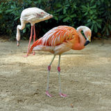 Pink flamingos against green background Stock Photography