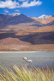 Pink flamingos in altiplano laguna, sud Lipez reserva, Bolivia Stock Image