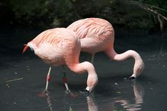 Pink flamingos, animal, bird, sky, stock image