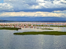 Pink Flamingos At The Lake Stock Photo