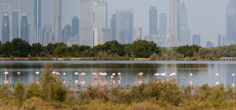 Pink flamingos in the background of a megacity. Pink flamingos in the background of metropolis Dubai  in the lagoon Ras al Khor Stock Images