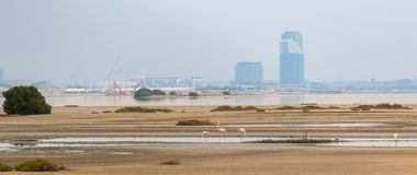Pink flamingos in the background of a megacity. Pink flamingos in the background of metropolis Dubai  in the lagoon Ras al Khor Royalty Free Stock Photo