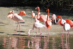 Pink flamingos at the beach. A group of pink flamingos at the beach, some drinking water Stock Photos