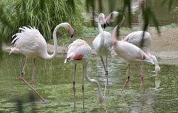 Pink Flamingos birds Stock Photography