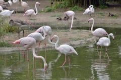 Pink Flamingos birds Stock Photos