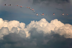 Pink flamingos in blue sky above white clouds stock photography