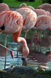 Pink flamingos. Bright pink flamngos early morning in pond Royalty Free Stock Images