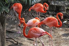 Pink flamingos at Busch Gardens in Tampa Florida. A picture of pink flamingos at Busch Gardens in Tampa Florida royalty free stock photography