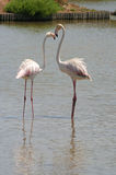 Pink flamingos in Camargue. Birds in natural park - ornithology reservation Camargue, Provence, France Royalty Free Stock Photography