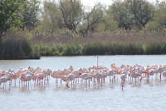 Pink flamingos in Camargue, France Stock Photography