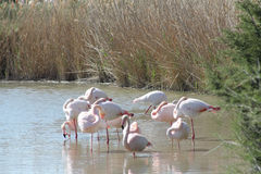 Pink flamingos in Camargue, France Royalty Free Stock Photos