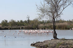 Pink flamingos in Camargue, France Stock Photo