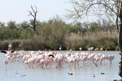 Pink flamingos in Camargue, France. Pink flamingos in Camargue, in France Stock Photos