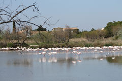 Pink flamingos in Camargue, France. Pink flamingos in Camargue, in France Royalty Free Stock Images
