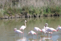 Pink flamingos in Camargue, France Stock Image