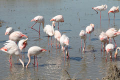 Pink flamingos in Camargue, France. Pink flamingos of Camargue, France Royalty Free Stock Photos