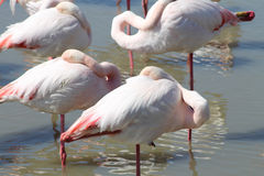 Pink flamingos in Camargue, France Royalty Free Stock Images