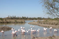 Pink flamingos in Camargue, France. Pink flamingos of Camargue, France Stock Photos