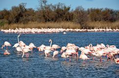 Pink flamingos in Camargue, France Royalty Free Stock Photography