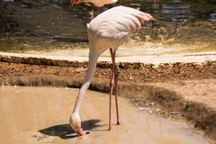 Pink flamingo catches food in the pond royalty free stock images