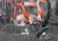 Pink flamingos cuba summer Stock Photo