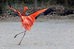 Pink flamingos dancing. royalty free stock images