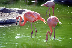 Pink Flamingos Drink in a Pond. Radiant Pink Flamingos Drink from a Bright Pond, their Radiant Feathers glowing in the Sun Royalty Free Stock Photos
