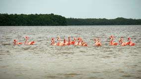 Pink flamingos at the El Corchito ecological reserve royalty free stock photography