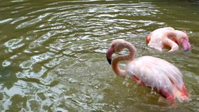 Pink flamingos are enjoying the water stock video footage