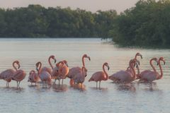 Pink flamingos family at dawn. Pink flamingoes gather at dawn before setting off to start their day in the river stock photo