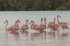 Pink flamingos family at dawn. Pink flamingoes gather at dawn before setting off to start their day in the river stock images