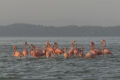 Pink flamingos family at dawn. Pink flamingoes gather at dawn before setting off to start their day in the river stock photography