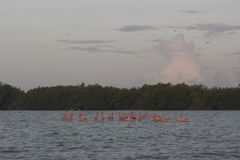 Pink flamingos family at dawn. Pink flamingoes gather at dawn before setting off to start their day in the river royalty free stock images