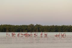 Pink flamingos family at dawn. Pink flamingoes gather at dawn before setting off to start their day in the river royalty free stock photography
