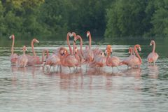 Pink flamingos family at dawn. Pink flamingoes gather at dawn before setting off to start their day in the river stock image