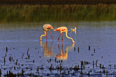 Pink Flamingos feeding in a Camargue lagoon. Pink Flamingos wading and eating, reflected in the still waters of a Camargue lake Royalty Free Stock Image