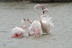Pink Flamingos fighting in Camargue Royalty Free Stock Photo