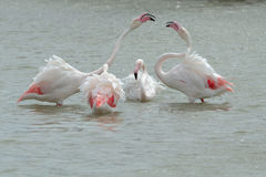 Pink Flamingos fighting in Camargue Royalty Free Stock Image
