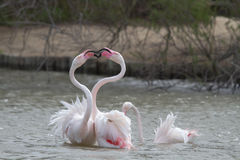 Pink Flamingos fighting in Camargue Royalty Free Stock Photos