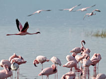 Pink flamingos flies over the water Stock Photo