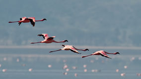Pink flamingos flies over the water Stock Images