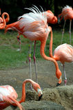 Pink flamingos flock Stock Images