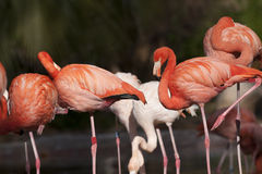 Pink Flamingos Flock Stock Photos