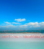 Pink flamingos flock Royalty Free Stock Photos