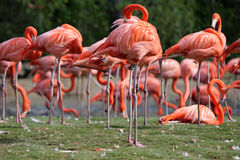 Pink flamingos. A flock of pink flamingos in the park Stock Images
