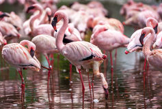 Pink flamingos Stock Images