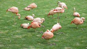 Pink flamingos stock video