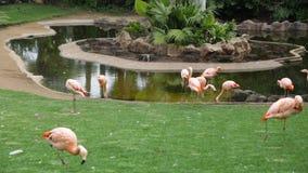 Pink flamingos stock footage