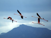 Pink Flamingos flying. Four beautiful Flamingos flying near Capoterra (Sardinia - Italy Royalty Free Stock Images