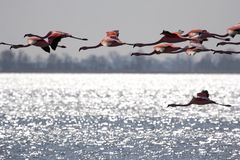 Pink flamingos flying over the Veluwe lake Stock Image